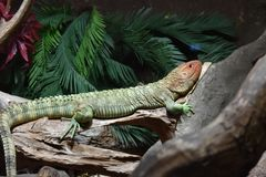 Caiman lizard basking on a log Royalty Free Stock Photos