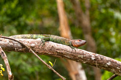 Caiman Lizard basking on a rain forest branch Stock Photos