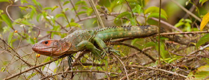 Caiman Lizard on branch Stock Images