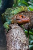 Caiman Lizard. A Caiman Lizard on a branch stops to surveil the obstacle Stock Image