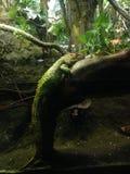 Caiman Lizard. Stock Photos