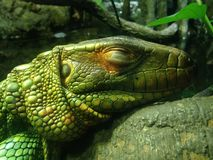 Caiman Lizard. Stock Images