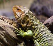 Caiman Lizard Royalty Free Stock Photography