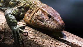 Caiman lizard Royalty Free Stock Photos
