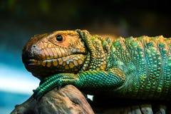 Caiman lizard Stock Photo