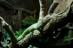 Caiman lizard lying on branch of tree Stock Photos