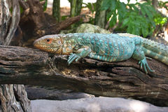 Caiman Lizard Royalty Free Stock Photography