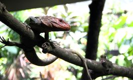Caiman lizard stands on the branch Royalty Free Stock Images