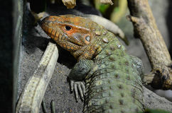 Caiman lizard 20132 Royalty Free Stock Photography
