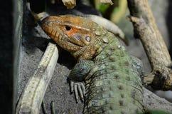 Caiman lizard 20132 Royalty Free Stock Photography
