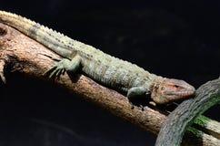 Caiman lizard 2013 Stock Image