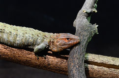 Caiman lizard 20133 Royalty Free Stock Photos