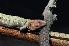 Caiman lizard 20133 Royalty Free Stock Photos