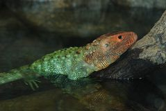 Caiman lizard on a tree Stock Image