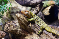 Caiman Lizard on tree in forest Stock Photo