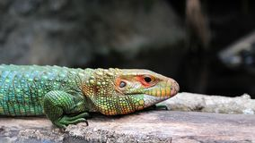 Caiman lizard walking Stock Photography