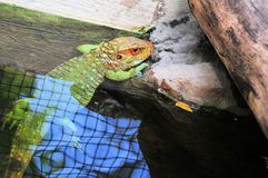 Caiman lizard in water Royalty Free Stock Photos