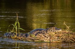 Caiman in nature. Stock Image