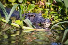 Caiman in nature. Royalty Free Stock Photography