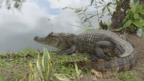 Caiman Stock Images