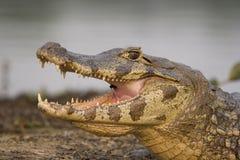 caiman pantanal με γυαλιά Στοκ Φωτογραφία