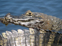 Caiman - Pantanal - Brazil Royalty Free Stock Photo