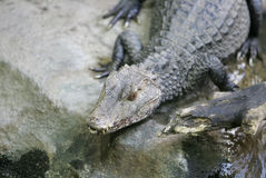 Caiman on the rocks. Caiman alligator or croc like animal laying on the rocks Stock Photography