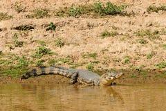 Caiman sauvage dans la région d'Amazone en Bolivie Photos stock