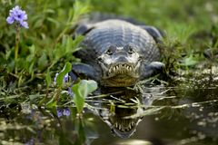 A caiman on the shore of a lagoon. Argentina stock photography