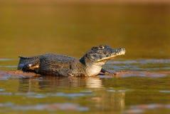 caiman spectacled Photos stock