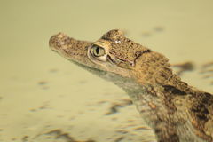 Caiman Spectacled Photographie stock libre de droits