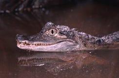 caiman spectacled Стоковое Изображение RF