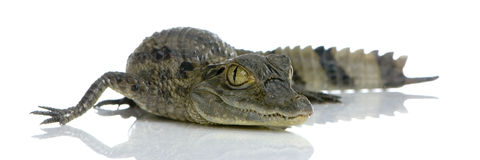 Caiman Spectacled novo Imagens de Stock Royalty Free