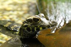 caiman spectacled young Zdjęcia Stock