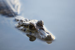 Caiman in still water at Madidi near Rurrenabaque, Bolivia Stock Photo
