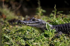 Caiman in swamp stock image