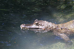 Caiman in the water Stock Photography