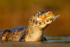 Caiman, Yacare Caiman, crocodile with fish in mouth with evening sun, in the river, Pantanal, Brazil Royalty Free Stock Images