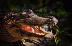 Caiman yacare - crocodilian dalla famiglia dell'alligatore Fotografia Stock Libera da Diritti