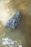 Caimano Caimaninae al parco nazionale di Madidi, Bolivia Immagini Stock Libere da Diritti