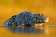 Caimano, caimano di Yacare, coccodrillo nella superficie del fiume, uguagliante sole giallo, Pantanal, Brasile Immagini Stock