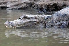 Caimano in Costa Rica La testa di un primo piano del coccodrillo (alligatore) Fotografia Stock Libera da Diritti