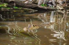 Caimano dagli occhiali o caimano comune in Costa Rica Immagine Stock Libera da Diritti