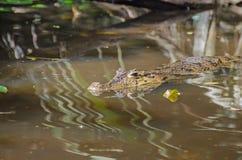 Caimano dagli occhiali o caimano comune in Costa Rica Fotografia Stock