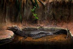 Caimano del nano del ` s di Cuvier, paleosuchus palpebrosus, piccolo coccodrillo dall'America, famiglia dell'alligatore Dalla Bol Immagine Stock