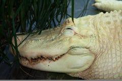 Caimano dell'albino di Horzontal Fotografia Stock