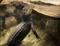Caimano dell'alligatore che alza la sua testa verticalmente dall'acqua Fotografia Stock Libera da Diritti