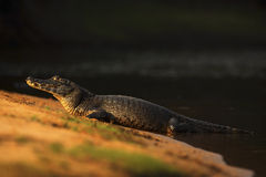 Caimano di Yacare, coccodrillo sulla spiaggia con il sole di sera, Pantanal, Brasile immagine stock