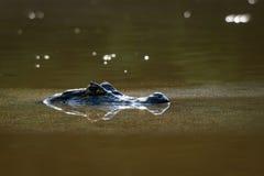 Caimano nero nell'acqua Fotografie Stock