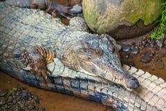 Caimano o alligatore - rettili acquatici, vite in tropici Immagini Stock